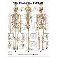 Anatómica Chart El sistema esquelético