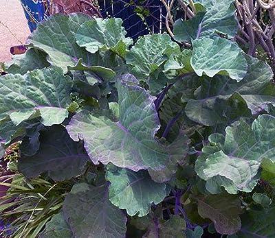 Perennial Purple Tree Collard / Kale - THREE (3) Cuttings