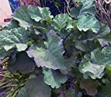 Perennial Purple Tree Collard/Kale - Three (3) Cuttings