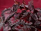 "Begonia Plant Harmony's Black Beauty 4"" Pot Rex"