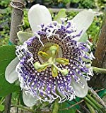 how to grow passion flower from seed