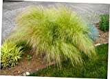 OPY 25 Pcs Seed Pony Tails Ornamental Stipa Tenuissima Seeds Wind Whisp Mexican Feather Grass - EB247
