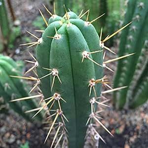 Asklepios-seeds® - 100 Semillas Trichocereus peruvianus Echinopsis peruviana peruvianum, Cacto Antorcha Peruana, Huachuma