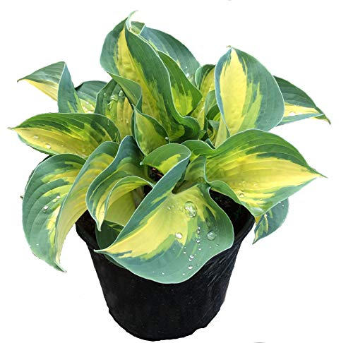 - Premier Plant Solutions 10349 Plantain Lily (Hosta) ' Expectations' Perennial 1 gallon