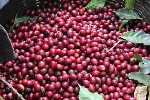 5 LBS Honduras El Limon Unroasted Green Coffee Beans