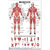 The Muscles Male Poster 12 * 17inch, for Physical...