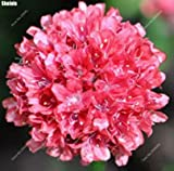 100pcs purple Armeria Maritima seeds - sea thrift ,Seagrass seeds,bonsai flower seeds,potted for home garden 1