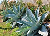 5 Rooted of Boutin Fox Tail Blue Glow Agave Attenuata Rare