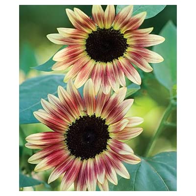 Strawberry Blonde Sunflower 25 Seeds by AchmadAnam : Flowering Plants : Garden & Outdoor