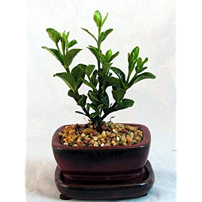 Chinese Gardenia Bonsai - Very Fragrant White Flowers : Bonsai Plants : Garden & Outdoor