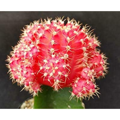 Gymnocalycium mihanovichii Hibotan Pink Cactus Cacti Succulent Real Live Plant : Garden & Outdoor