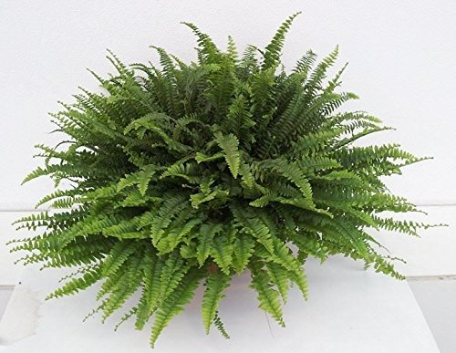 Nephrolepis exaltata 'Green Lady' Fern Plant. Indoor Fern in 17cm pot Perfect Plants