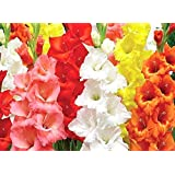 Kraft Seeds! A Great Gift Pack of Colorful Gladiolus Flower Bulbs (5 Bulbs)