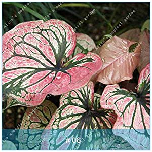 MAYAGREEN ZLKING 100pcs Exotic Caladium Bicolor Bonsai Unique Perennial Garden Planting Charm Tropical Fun Caladium bicolor6(Seeds Only)