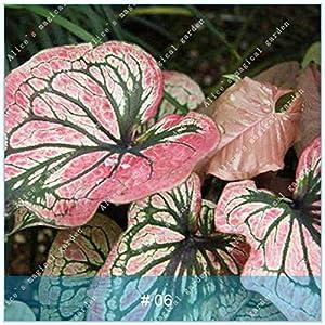 MAYAGREEN ZLKING 100pcs Exotic Caladium Bicolor Bonsai Unique Perennial Garden Planting Charm Tropical Fun Caladium bicolor6(Seeds Only)
