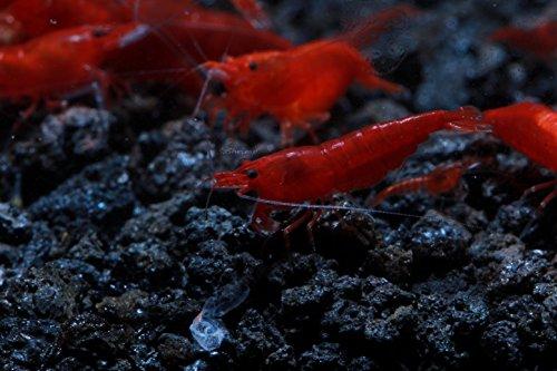 SoShrimp 10 Bloody Mary Shrimp - Neocaridina davidi Live Freshwater Aquarium Shrimp - 1/2 to 1 inch Long