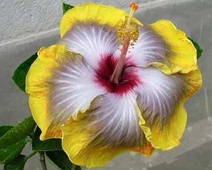 Siam Garden Australian Grafted Hibiscus Large Flowering Varieties