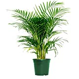 "AMERICAN PLANT EXCHANGE Areca Palm Indoor/Outdoor Air Purifier Live Plant, 6"" Pot, Cleans Toxins!"