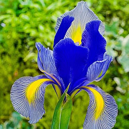 Rare Iris Bulbs-2 Bulbs- Rapidly Beauty Reblooming Bearded Iris Root Home Balcony Bonsai - Blue Spring Bearded Iris