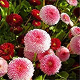 VISTARIC 3: Bright Colors Vigorous Garden New Beautiful Daisy English - 500 Seeds - POMPONETTE Mix - Bellis PERENNIS 3