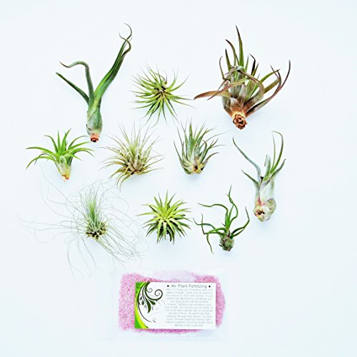 Air Plant Shop's Grab Bag of 10 Plants + Fertilizer Packet - Free PDF Air Plant Care eBook with Every Order - House Plants - Air Plant Variety - Fast Shipping from Florida