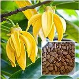 Artabotrys siamensis, Climbing Ylang-Ylang Seeds, ''Karawek'' Fragrant Flower