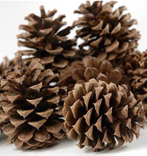 Richland Ponderosa Pine Cones 12 Cones