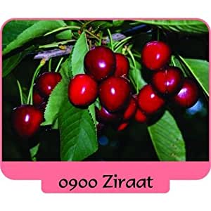 3 pcs ZIRAAT 0900 ,NAPOLEON ,Sweet CHERRY Tree