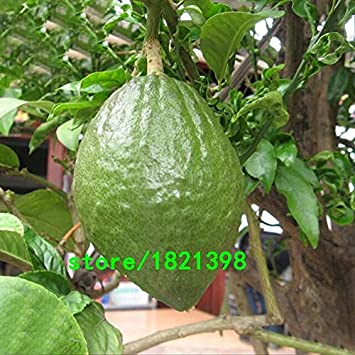 Venta caliente Semillas de Limón Verde Jardín de Frutas Huerto de Terraza Huerta Granja Familia Bonsai en Macetas Semillas de Plantas Perennes 100 Unids: Amazon.es: Jardín