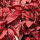 1 Packet of 30 Seeds Hypoestes Select Splash Red/Acanthaceae/ Hypoestes Phyllostachya