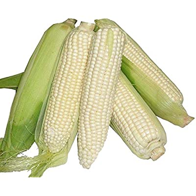 Whiteout Hybrid F1 Corn Seeds (100 Seeds) : Garden & Outdoor
