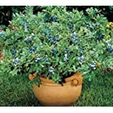 Top Hat Dwarf Blueberry Bush ( Vaccinium ) - Live Plant - Quart Pot