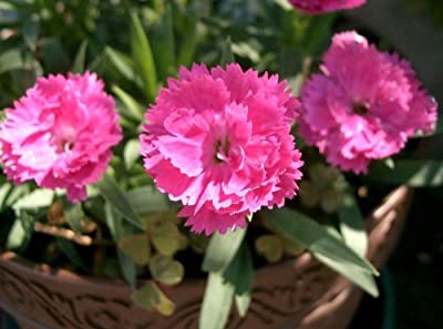 1000 CHINESE PINKS (China Pinks / Rainbow Pink) Dianthus Chinensis Flower Seeds