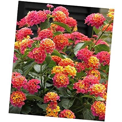 Amazoncom Seeds Lantana Camara 500 Seeds Shrub Verbena Flowering