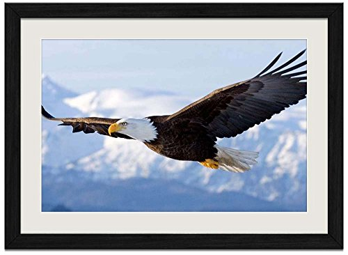 Bald Eagle Flying - Art Print Wall Black Wood Grain Framed Picture(20x14inch) ()