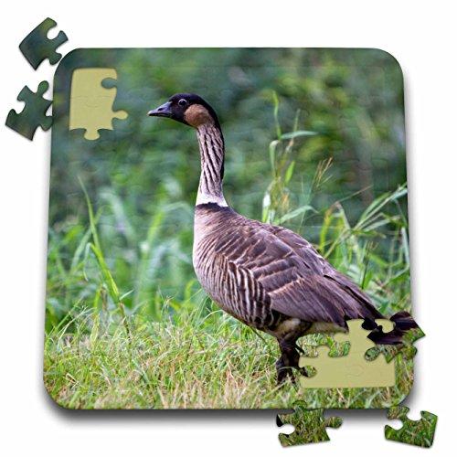 Danita Delimont - Birds - Nene Hawaiian Goose, bird, Kauai, Hawaii, USA - US12 DFR0128 - David R. Frazier - 10x10 Inch Puzzle (pzl_143904_2)