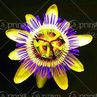 (5pcs Passion Flower (Passiflora incarnata), plant Exotic Passion Fruit Seeds Passiflora Edulis for home garden 5)