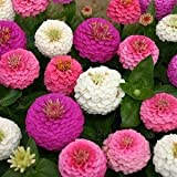 50 Stratified Edwardian Zinnia Seeds - My Secret Gardens