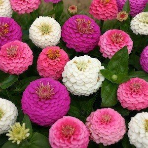 50 Stratified Edwardian Zinnia Seeds - My Secret Gardens (Best Flowers To Plant In Northern Virginia)