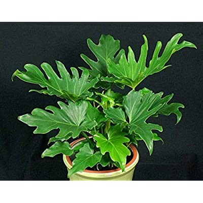 AchmadAnam - 1 Gal Pot - Hope Philodendron - Philodendron bipinnatifidum 'Hope' - 1 Feet Tall - Ship in. E9 : Garden & Outdoor