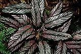 Pin Stripe Calathea - Live Plant in a 4 Inch Pot