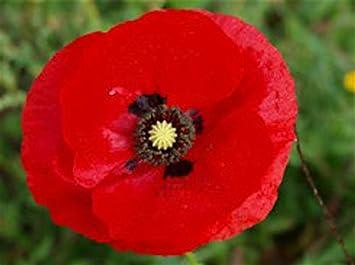 Buy 2 get 1 free Red Poppies of Flanders Fields 100 Seeds Single,Breathtaking