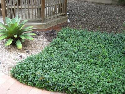 Classy Groundcovers - Trachelospermum asiaticum {50 Bare Root Plants} by Classy Groundcovers (Image #4)