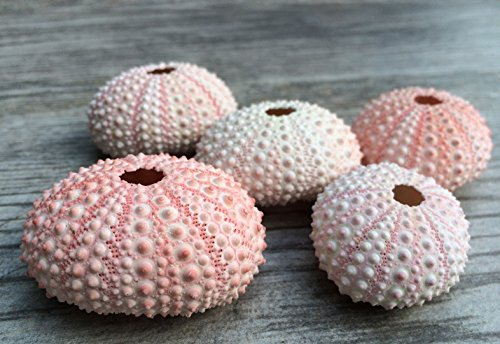 Sea Urchin | 5 Pink Sea Urchin Shell | 5 Pink Sea Urchin Shells for Craft and Decor | Nautical Crush Trading TM (Vases Dollar 1)