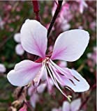 New PINK GAURA WHIRLING BUTTERFLIES Flower 100+ Seeds