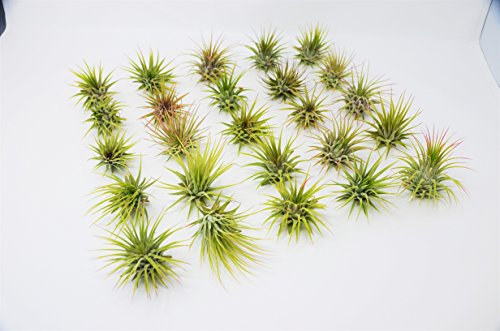 Bulk Ionantha Air Plant Pack / 2-3 Inches Large / Wholesale (25, 50 and 100 Packs)