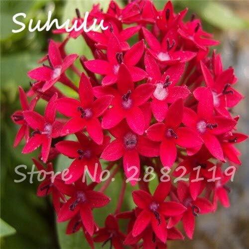 Pentas Seeds 150 Unids/bolsa Novela Planta Mini Jardín Reloj Semillas de Bonsai Plantas de Flores Purificar Interior Bonsai Aire Interior: Amazon.es: Jardín