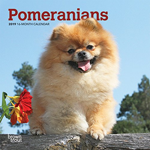 Pomeranians 2019 7 x 7 Inch Monthly Mini Wall Calendar, Animals Small Dog Breeds (Multilingual Edition)