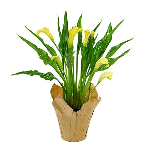 KaBloom Live Plant Collection: 15'' Yellow Calla Lily Plant in a 4.5'' Kraft Covered Pot