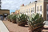 15 Seeds of Agave Horrida - Mexcalmetl